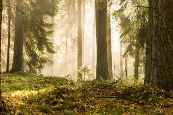 Oak trees in forest