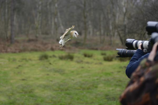 Owl flying towards cameras